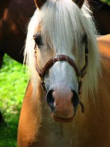 Stefan är en välutbildad trygg körhäst som inte låter sig beröras av det kaos som råder vid studenten