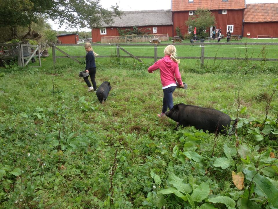 Förflyttning av grisarna